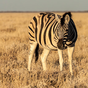 Zebra in early morning light by Ada Louw - Animals Other