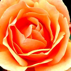Orange Flower Edit.jpg