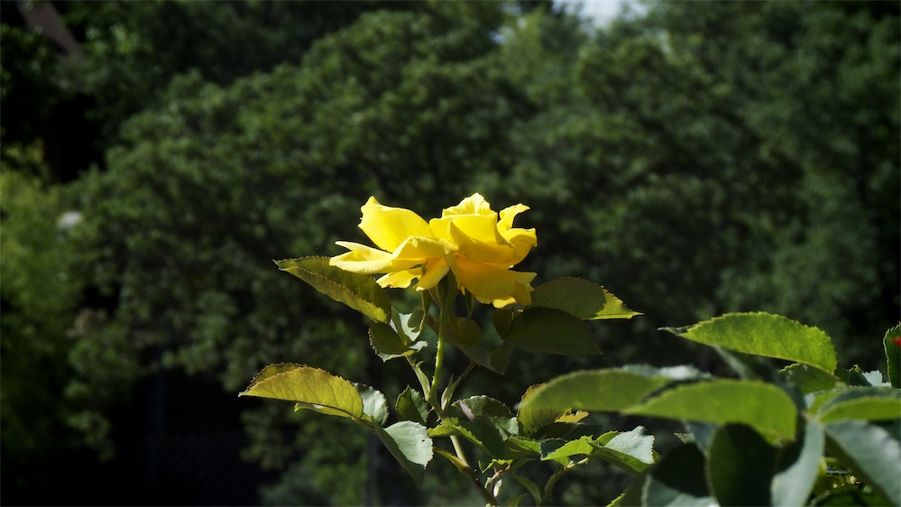 Sun On Yellow Rose.jpg