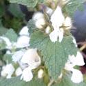 White nettle