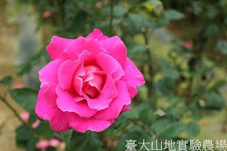 Photo: 拍攝地點: 梅峰-杜鵑園旁 拍攝植物: 玫瑰 拍攝日期:2012_05_19_FY