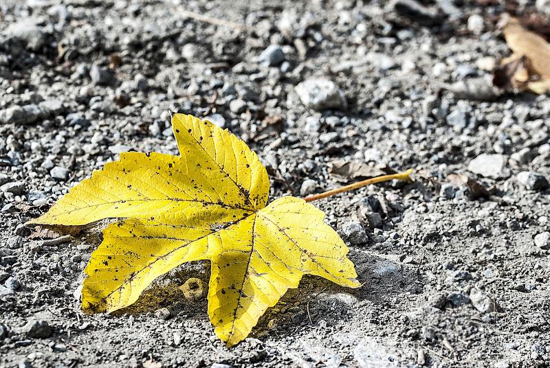 Foglia gialla di Guarlotti Eleonora