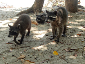 Photo: Racoons
