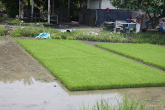 Photo: Day 327 - Rice Being Grown in Trays Before Planting Out #2