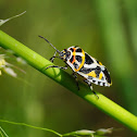 Chinche (Stink bug)