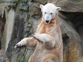 Photo: Knut versucht es als Imponierbaer ;-)