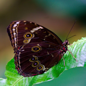 Butterfly by Bhavin Degadwala - Animals Insects & Spiders ( butterfly, nature, beautiful, insect, blue morpho, natural beauty )
