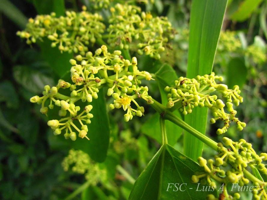 Cissus verticillata - Flora de Santa Catarina