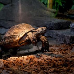turtel on the move by Franky Vanlerberghe - Animals Reptiles ( reptiel, reptile;, schildpad, turtel,  )