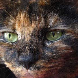 Cat portrait by Ceri-Jayne Hawley - Animals - Cats Portraits ( tortoise cat, green eyes,  )