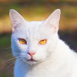 Blanco by Alycia Marshall-Steen - Animals - Cats Portraits