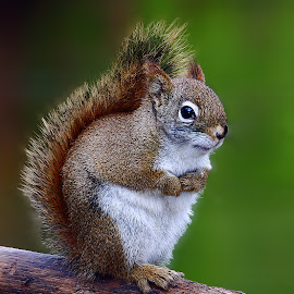 Red squirrel by Gérard CHATENET - Animals Other Mammals