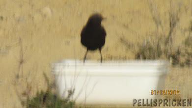 Photo: Maten får dom inte ha ifred, även fåglar gillar mat. De lever mest på männinskans matrester dessa valpar och fåglar