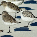Dunlin and Sanderling