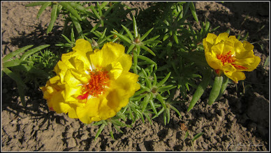 Photo: Floarea de piatra (Portulaca grandiflora) - din Turda, pe Str. Salinelor, la curte - 2019.06.10
