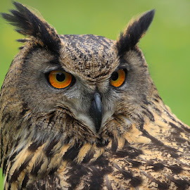 The Owl by Dave Denny - Animals Birds