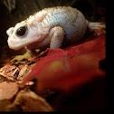 Leucistic Southern Toad