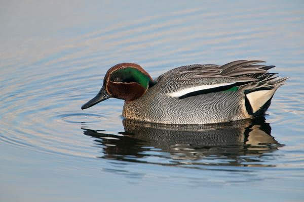 Teal male