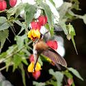 Colibrí jaspeado / Speckled hummingbird