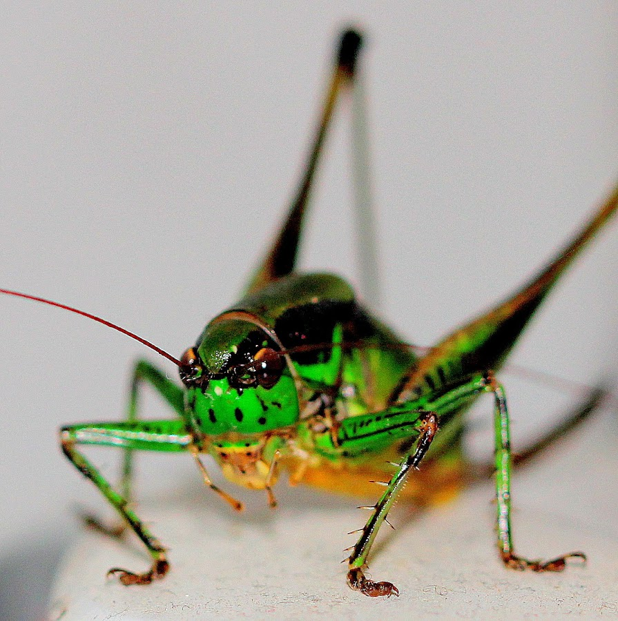Grasshopper by Renata Ivanovic - Animals Insects & Spiders ( nature, meadow, insects, close up, grasshopper )