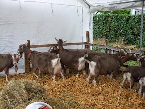 Photo: Inzending toggenburger geiten van fam. de Groot.