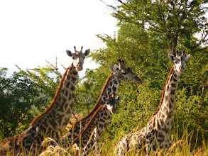 Photo: V Africe je několik druhů žiraf, tyhle jsou Maasajské žirafy (mají jinak tvarované skvrny na těle) / In Africa live few kind of giraffe, these are Maasai giraffe (they have different pattern)