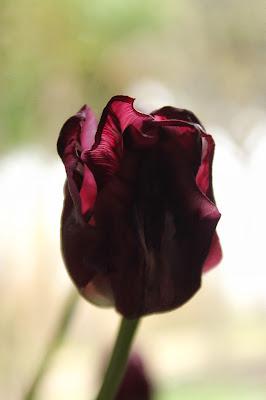 Attraverso un tulipano  di outcryes