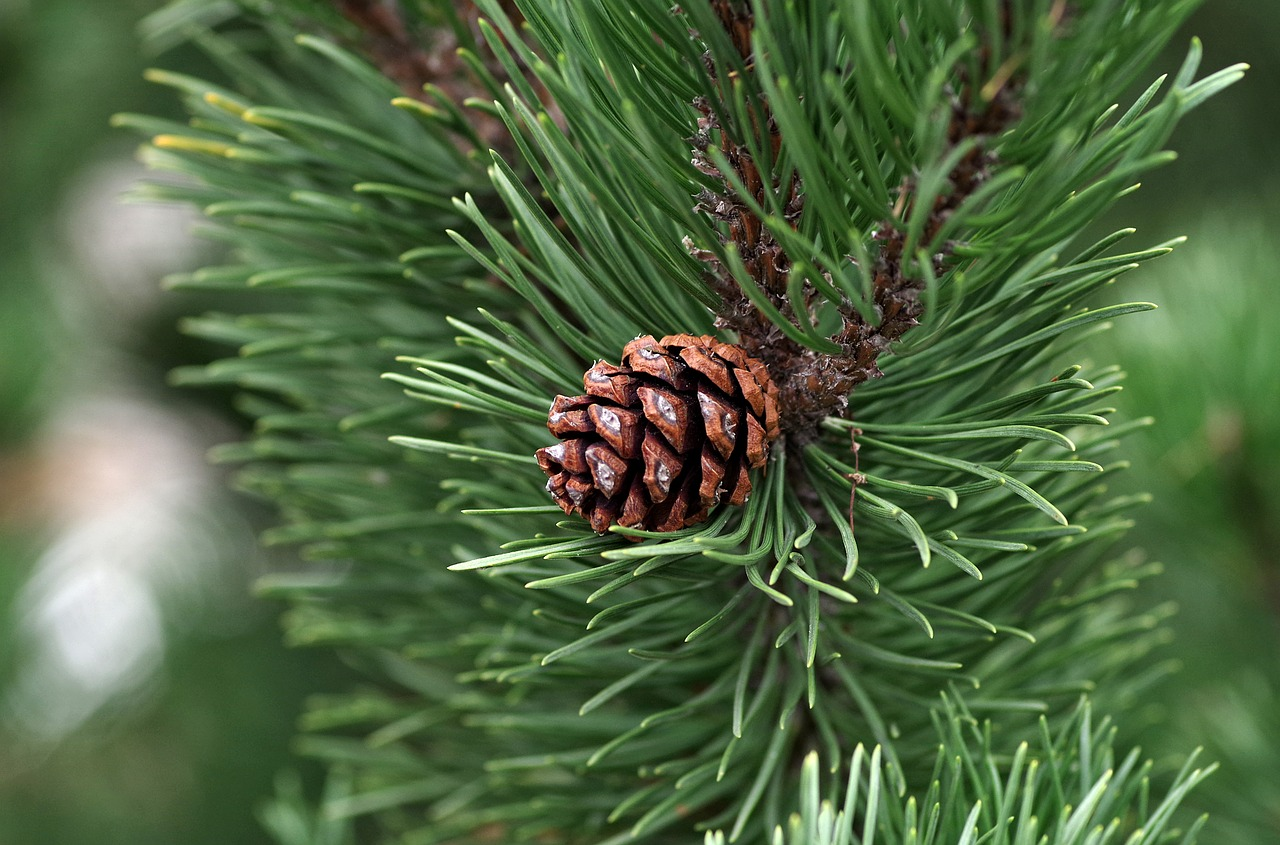 White Fir Essential Oil: fir tree with pinecone