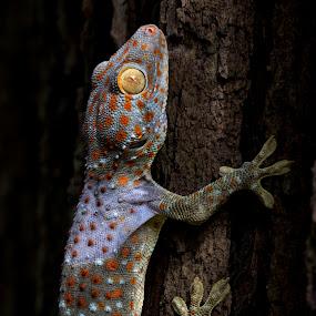 Gecko in Vietnam by Andre Minoretti - Animals Reptiles ( reptiles, gecko, asia, vietnam, reptile, tokay lizard )