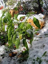 Photo: פלפלים בשלג - עדיין שורדים