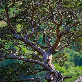 Gibraltar by Brad Bellisle - Nature Up Close Trees & Bushes ( gibraltar, twisted, knarly, tree, cedar, lodi,  )