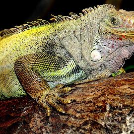 Repos après la bagarre by Gérard CHATENET - Animals Reptiles