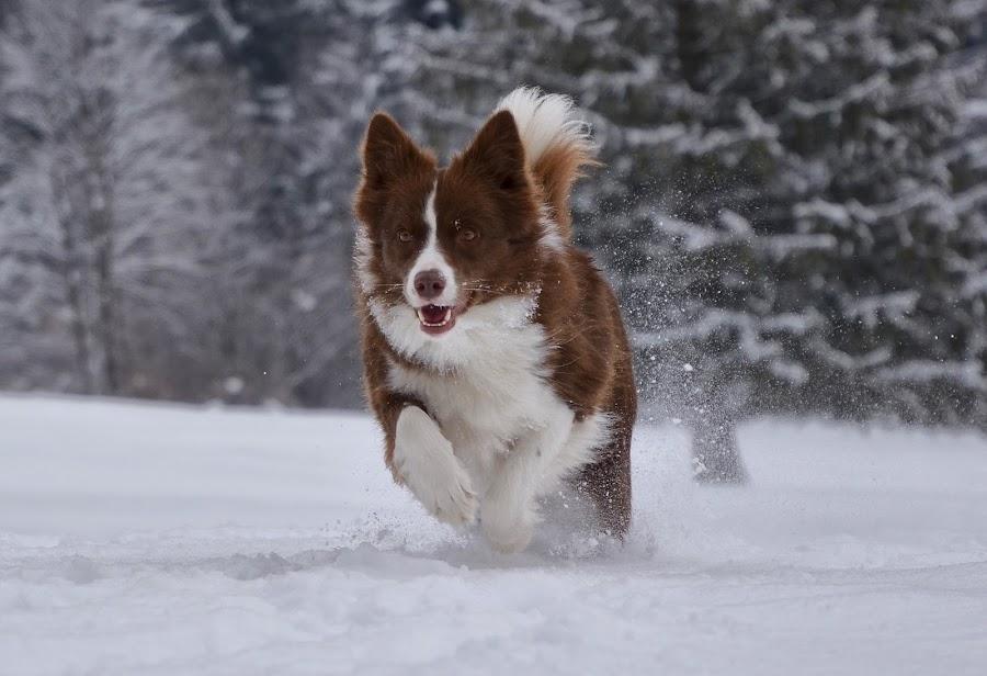 Uživanje na snegu by Bojan Kolman - Animals - Dogs Running (  )