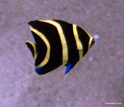 Photo: French Angelfish, Juvenile Stage