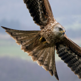 a Red Kite on a mission by Stephen Crawford - Animals Birds ( bellymack, feeding, hunting, red kite, in flight,  )