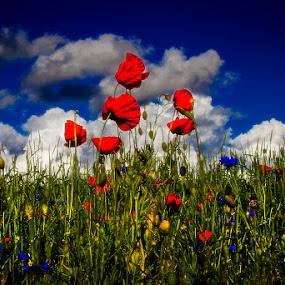 by Dusan Vukovic - Flowers Flowers in the Wild ( field flowers, summer, poppies )