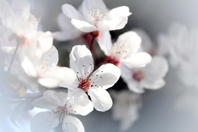 Prugni in fiore di Martina Venturelli Studio