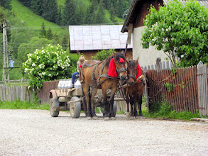 Photo: The hay is used to feed the animals, mainly the cows. The milk is collected daily and transported to dairy factories normally by a horse-drawn cart. The horses in Bucovina always have bells and red tassels.