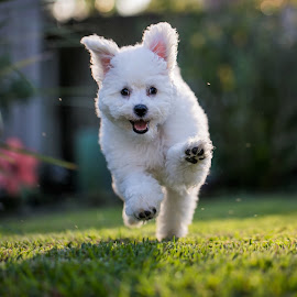 Maxine by Rodney Rodriguez - Animals - Dogs Running