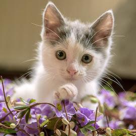 Wiscar 5 by Anita Meis - Animals - Cats Kittens ( g awake, cat, kitten, shoot, whiskers, sleepin, paws, cute, posing, newborn, eyes )