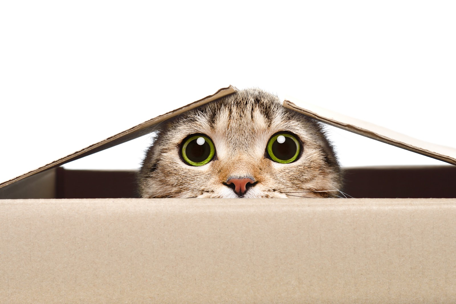 cat looking out of the box