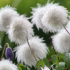 seed pompoms by Sue Rickhuss - Nature Up Close Other plants