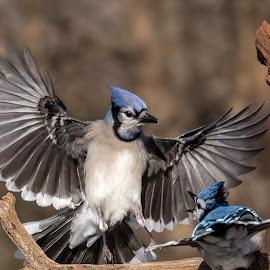 Blue Jays Fighting 0602 by Carl Albro - Animals Birds ( bird in flight, blue jay, songbird, flying, fighting, birds, wildlife )