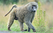 A male baboon