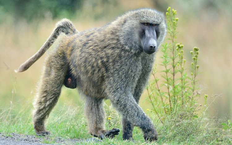 "A male baboon ""entered the urban area on more than 40 occasions"" between October 1 2020 and February 28 this year, the City of Cape Town said, and in February alone entered houses on more than 10 occasions while residents were inside. Stock photo."