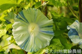 Photo: 拍攝地點: 春陽-可愛植物區 拍攝植物: 日本朝顏 溪流 拍攝日期:2013_07_30_FY