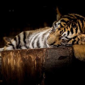 by Jarda Chudoba - Animals Lions, Tigers & Big Cats