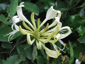 Photo: 1 Jul 13 Woodhouse Lane: The first Honeysuckle, also known as Woodbine, (Lonicera periclymenum) flower about to open. (Ed Wilson)