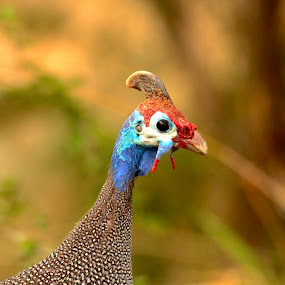 Helmeted ready to ride... by Christo W. Meyer - Novices Only Wildlife ( guinea_fowl )