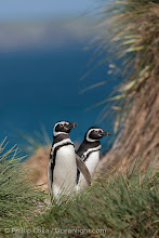 Photo: Magellanic penguins walk through tussock grass, on their way to their burrows after foraging at sea all day.